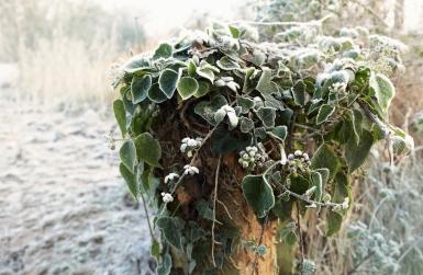 frost-ice-caldicot-ivy