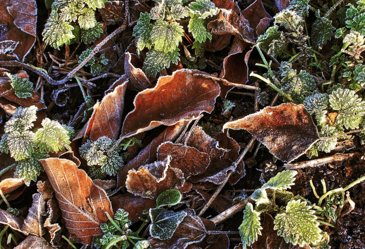 frost-leaves-ice