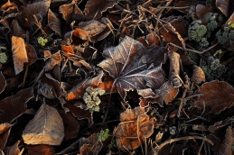 frost-leaves-winter