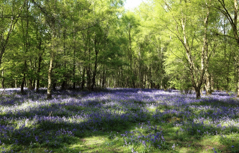 bluebells-wood-may-hill
