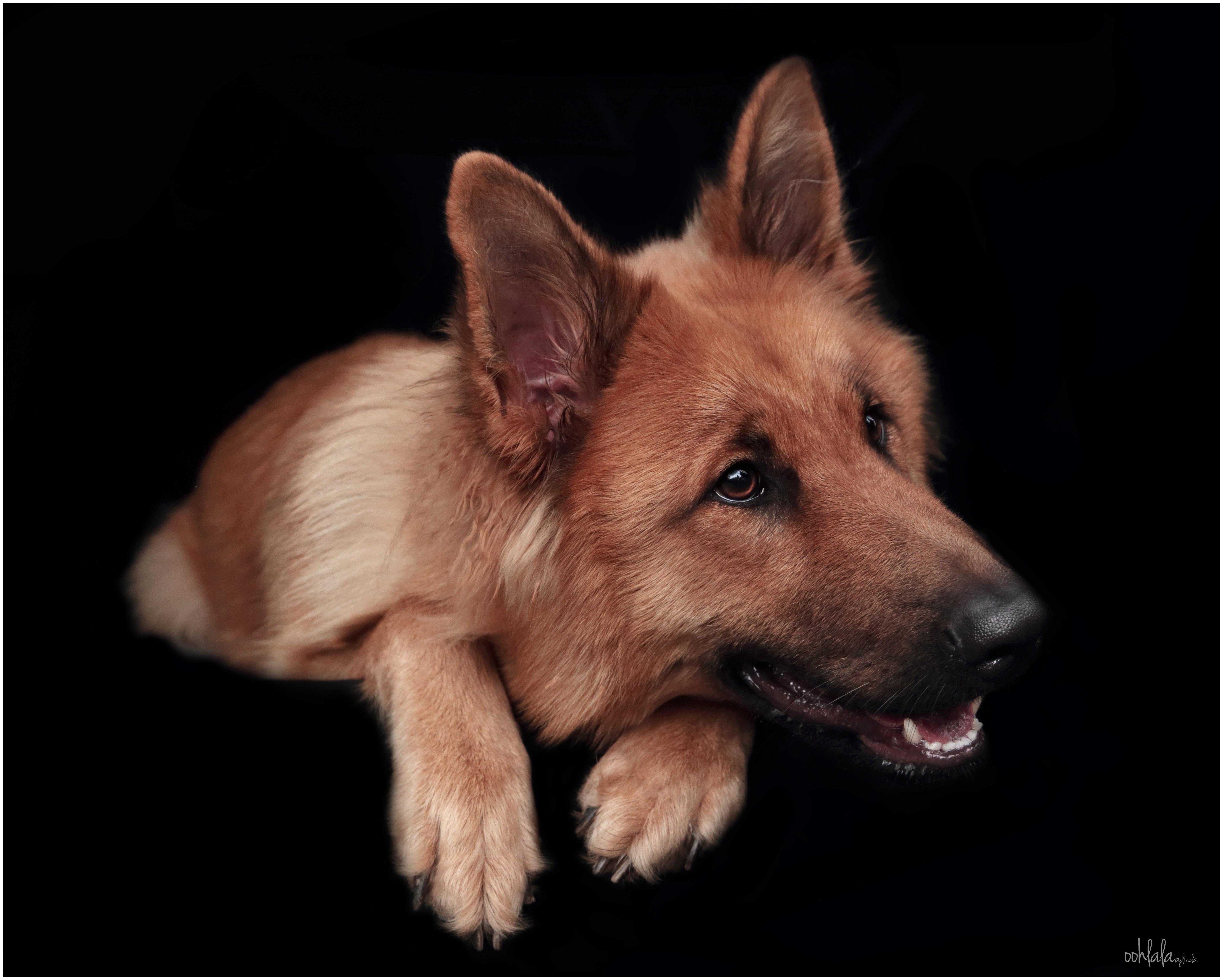 portrait of German Shepherd